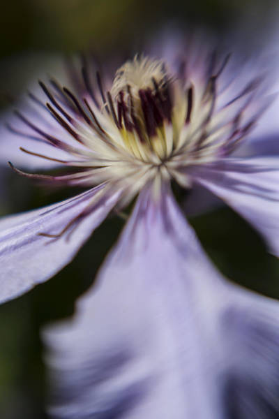 Photograph - Clematis Dream 2 by Scott Campbell