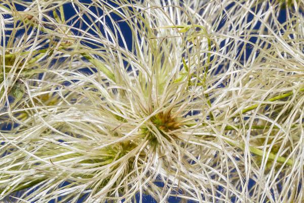 Photograph - Clematis Drummondii Swirls by Steven Schwartzman
