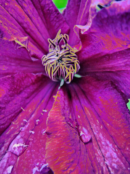 Photograph - Clematis Dynamic by Lora Fisher
