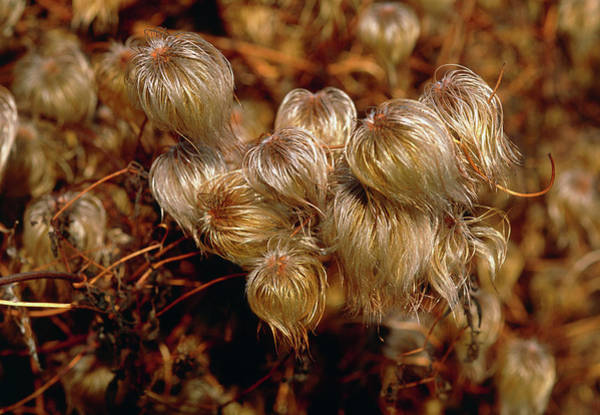 Fragrant Photograph - Clematis Flammula Seeds 'bill Mckenzie' by Tony Wood/science Photo Library