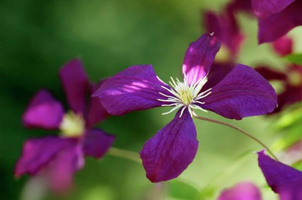 Climbing Plants Photograph - Clematis Flower by Maria Mosolova/science Photo Library