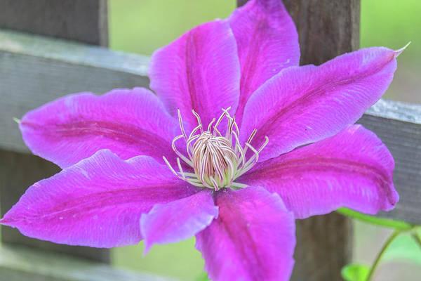Climbing Vine Photograph - Clematis Flower, Reading by Lisa S. Engelbrecht
