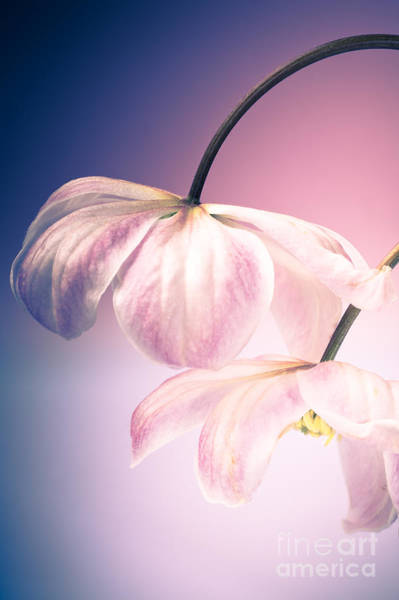 Clematis Wall Art - Photograph - Clematis Flowers 3 by Jan Bickerton
