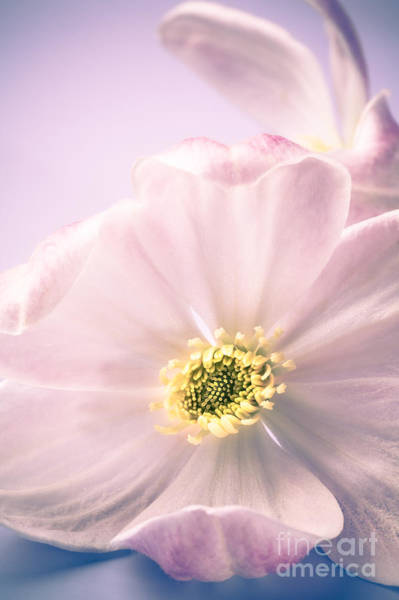 Clematis Wall Art - Photograph - Clematis Flowers 4 by Jan Bickerton