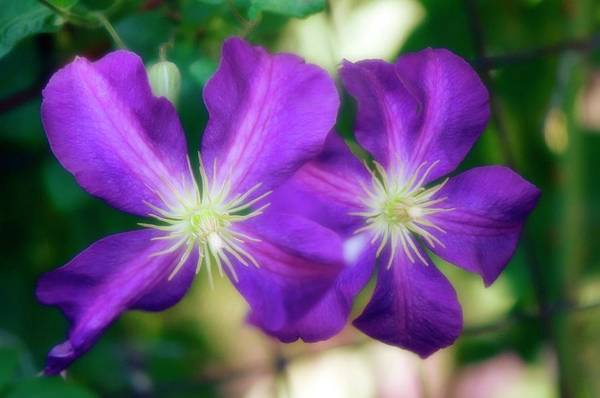 Climbing Plants Photograph - Clematis Flowers (clematis Sp.) by Maria Mosolova/science Photo Library