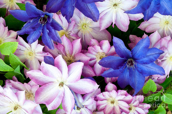 Photograph - Clematis Flowers by William H Mullins