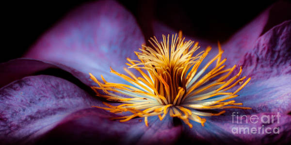 Photograph - Clematis by Hannes Cmarits
