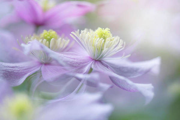 Seasonal Photograph - Clematis 'mayleen' by Jacky Parker