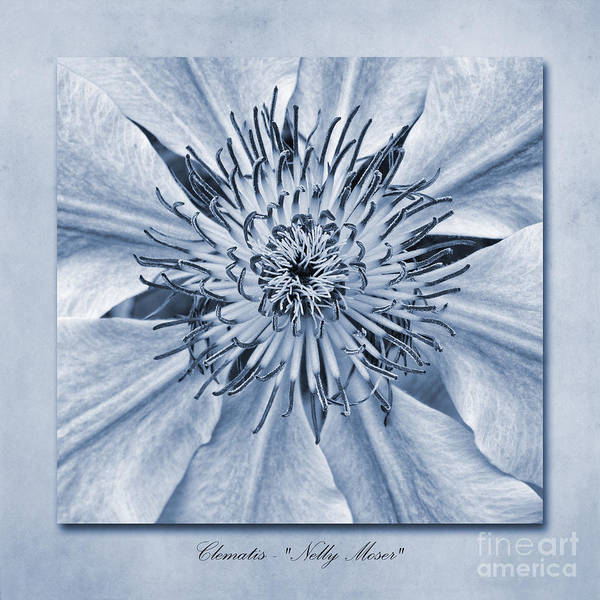Wall Art - Photograph - Clematis Nelly Moser Cyanotype by John Edwards