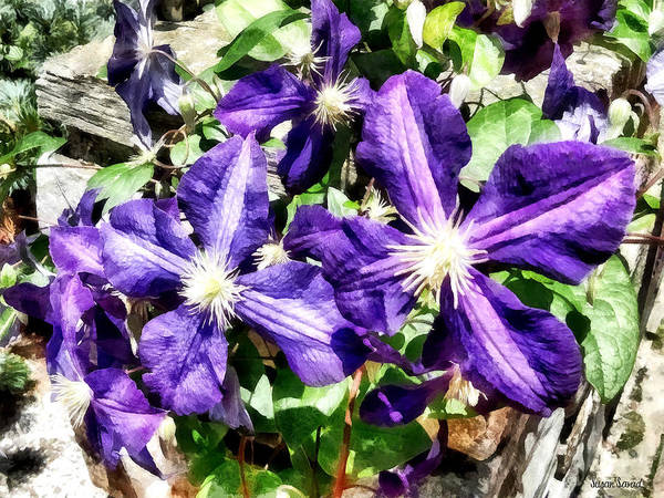 Photograph - Clematis On A Stone Wall by Susan Savad