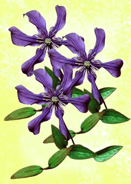 Clematis Wall Art - Photograph - Clematis 'petit Faucon' by Archie Young