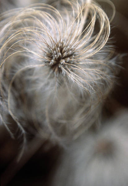 Climbing Plants Photograph - Clematis Seed Head by Rachel Warne/science Photo Library