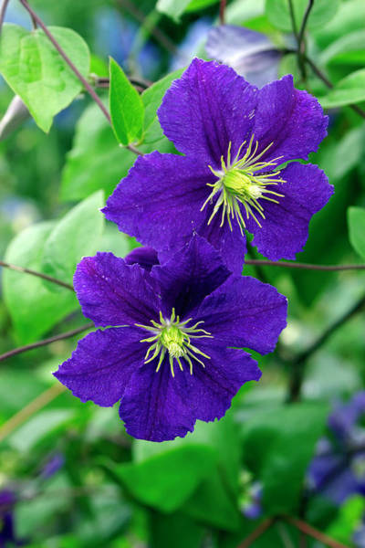Climbing Plants Photograph - Clematis 'wisley' by Neil Joy/science Photo Library