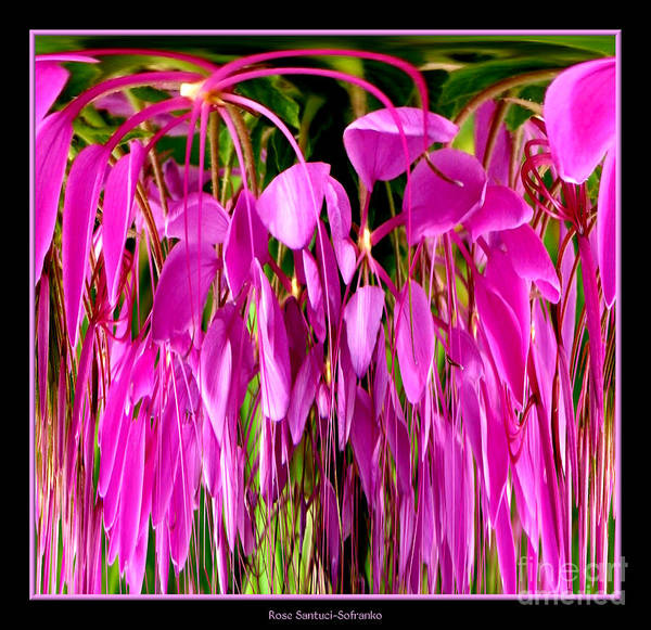 Photograph - Cleome Flower Abstract by Rose Santuci-Sofranko