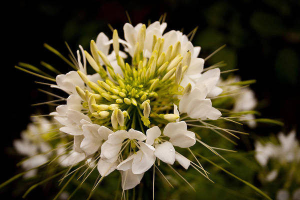 Photograph - Cleome Hassleriana  by Ben Shields
