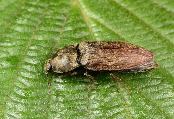 Entomology Photograph - Click Beetle by Nigel Downer