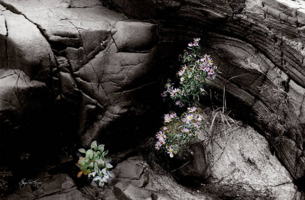 Photograph - Cliff Aster by Wayne King