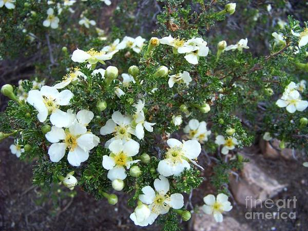Photograph - Cliff Rose by Charles Robinson