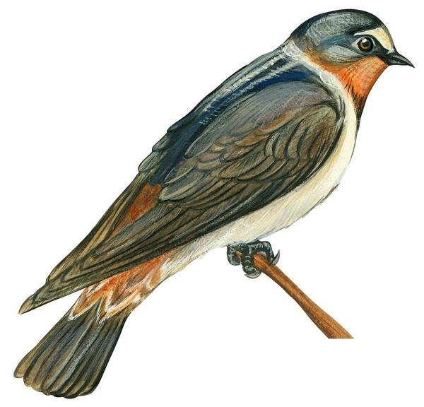 Close Up Drawing - Cliff Swallow  by Anonymous