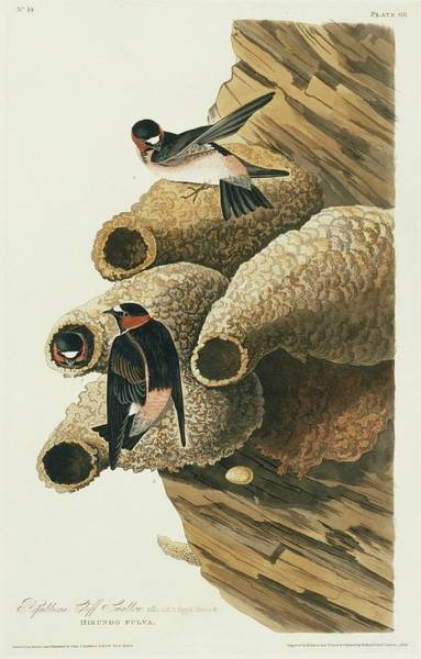 Aquatint Photograph - Cliff Swallows Nesting by Natural History Museum, London/science Photo Library