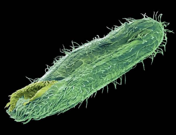 Buccal Wall Art - Photograph - Climacostomum Protozoan by Steve Gschmeissner