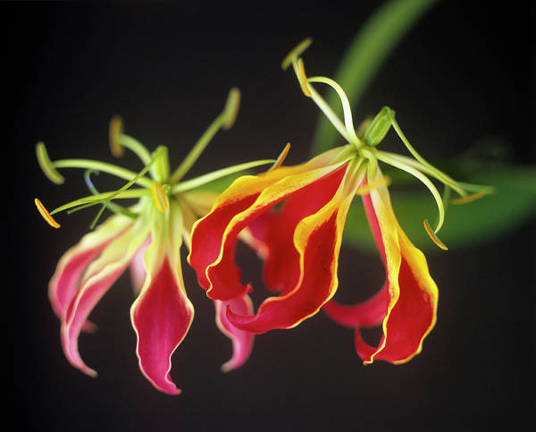 Climbing Plants Photograph - Climbing Lily (gloriosa Superba) by Rowland Roques O'neil/ Science Photo Library