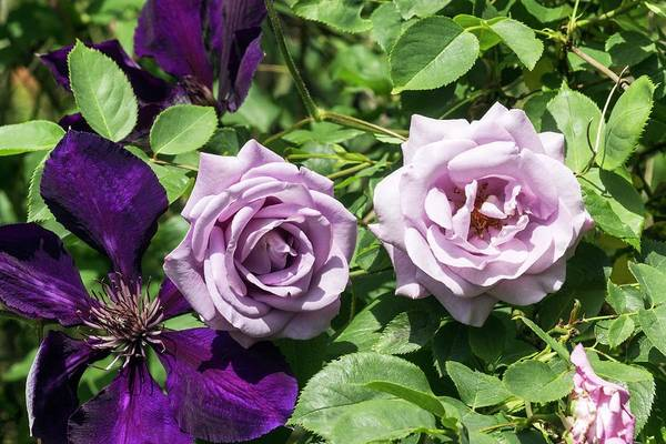 Climbing Plants Photograph - Climbing Rose And Clematis 'jackmanii Superba' Flowers by Brian Gadsby/science Photo Library