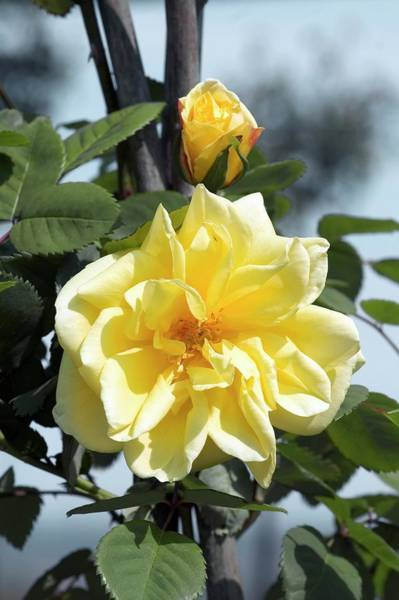 Rose In Bloom Photograph - Climbing Rose (golden Gate) by Brian Gadsby/science Photo Library