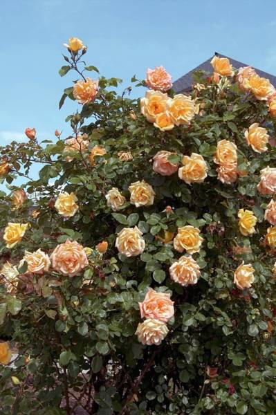 Rose In Bloom Photograph - Climbing Rose (mitchka) by Brian Gadsby/science Photo Library