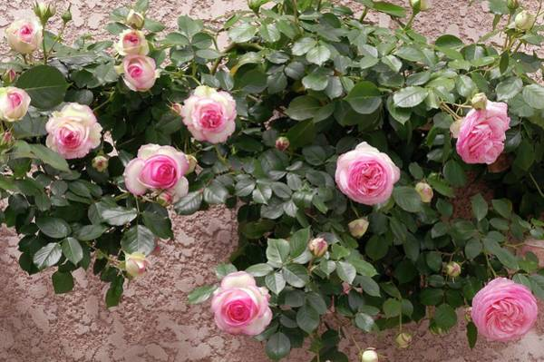 Rose In Bloom Photograph - Climbing Rose (pierre De Ronsard) by Brian Gadsby/science Photo Library