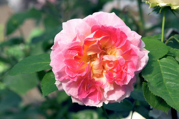 Cesar Wall Art - Photograph - Climbing Rose (rosa 'cesar') by Brian Gadsby/science Photo Library