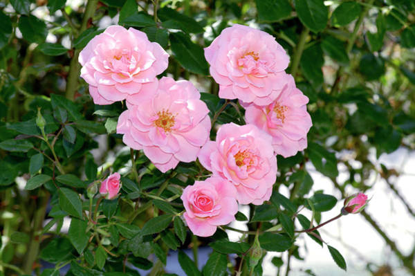 Chewing Wall Art - Photograph - Climbing Rose (rosa 'chew Pearl') by Brian Gadsby/science Photo Library