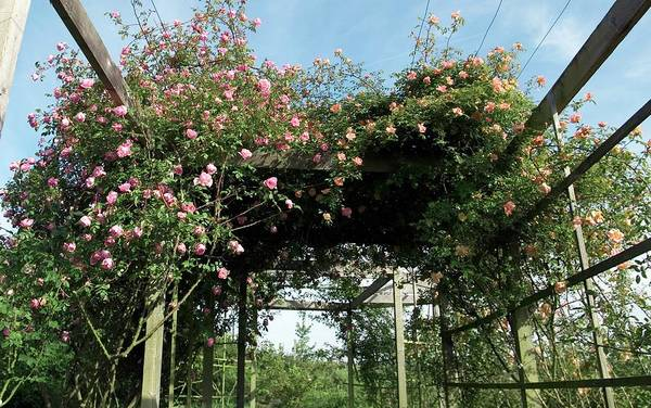 Rose In Bloom Photograph - Climbing Roses On Pergola. (lijang Rose) by Brian Gadsby/science Photo Library