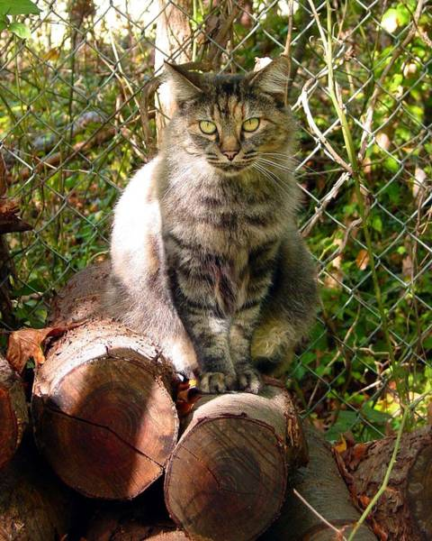 Manx Cat Wall Art - Photograph - Clippy On The Wood Pile by Kathleen Horner
