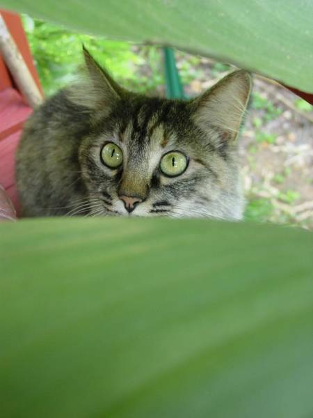 Manx Cat Wall Art - Photograph - Clippy Through The Green by Kathleen Horner