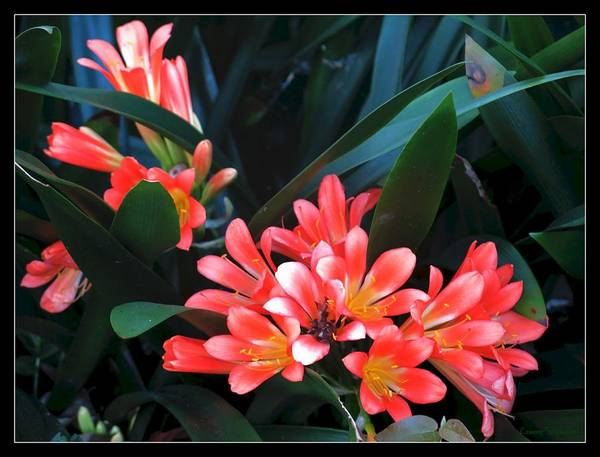 Clivia Wall Art - Photograph - Clivias by Leanne Seymour