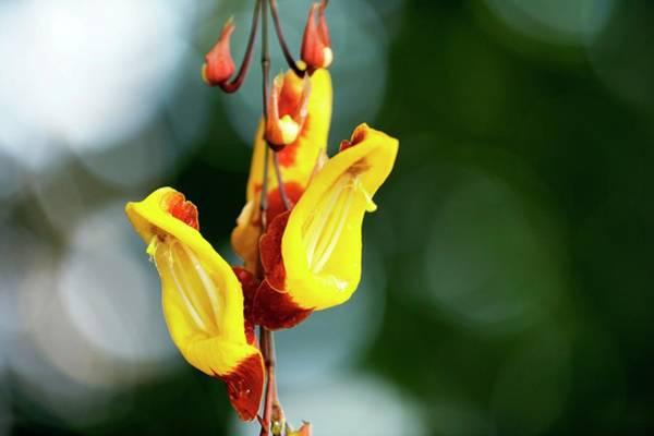 Climbing Vine Photograph - Clock Vine (thunbergia Mysorensis) by Sam K Tran/science Photo Library
