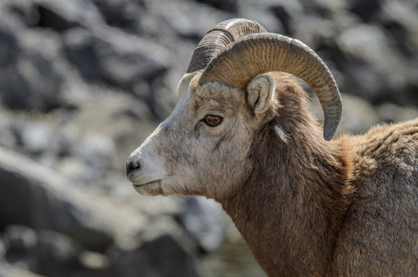 Photograph - Close Big Horn Sheep  by Roxy Hurtubise