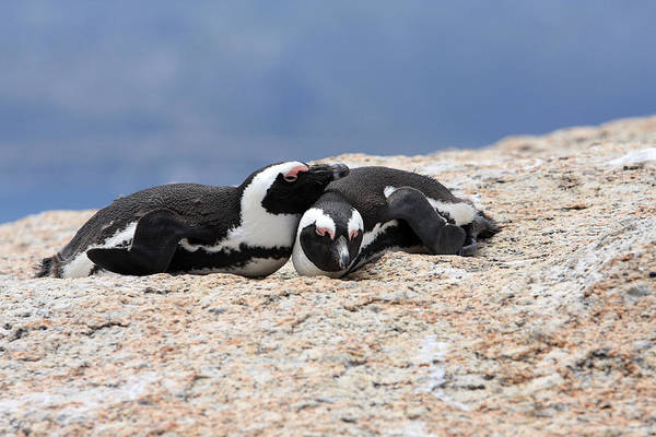 Photograph - Close Bonds, African Penguin by Aidan Moran