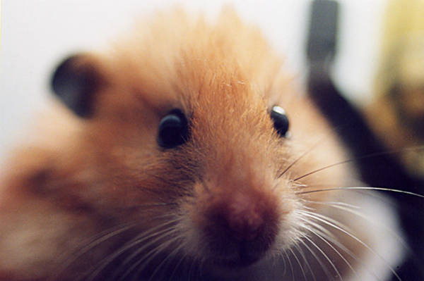 Hamster Photograph - Close Friend by Philip Ralley