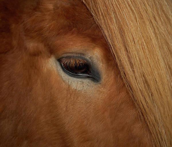 Scandinavian Photograph - Close-up Eye, Icelandic Horse, Iceland by Animal Images