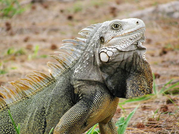 Photograph - Close Up Head Of Iguana In Grass by Simply  Photos