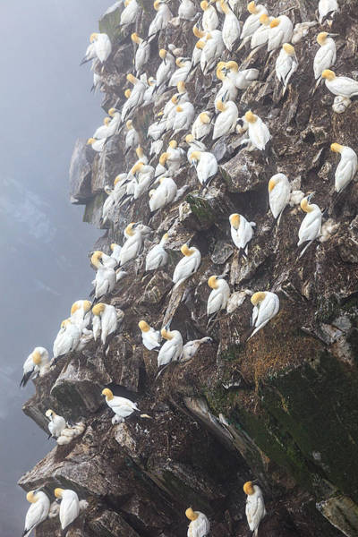 Photograph - Close-up Norther Gannet Colony  by Perla Copernik