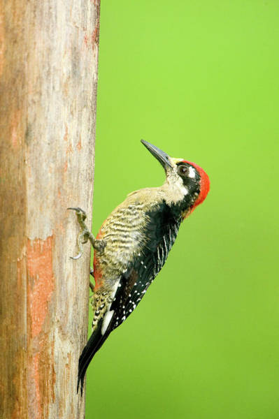 Wall Art - Photograph - Close-up Of A Black-cheeked Woodpecker by Animal Images
