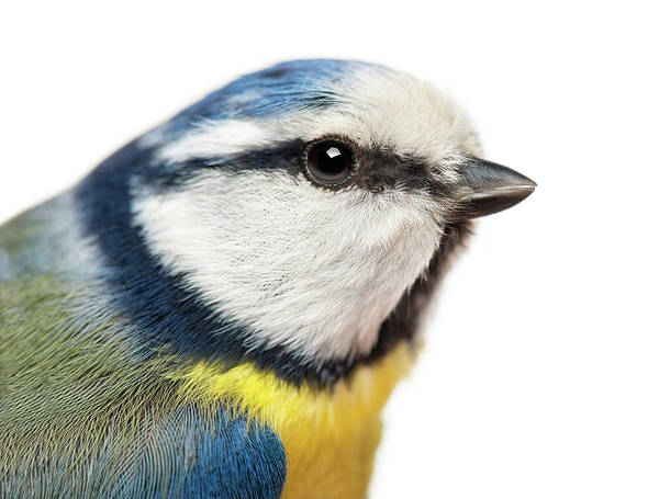 Belgium Photograph - Close-up Of A Blue Tit, Cyanistes by Life On White