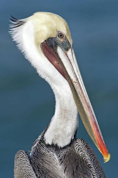 California Brown Pelican Photograph - Close-up Of A Brown Pelican Pelecanus by Animal Images