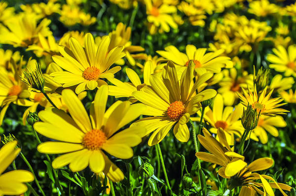 Photograph - Close Up Of A Bunch Of Yellow Daisies by Alex Grichenko