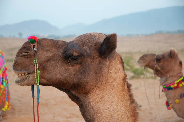 Dromedary Wall Art - Photograph - Close-up Of A Camel, Pushkar by Inger Hogstrom