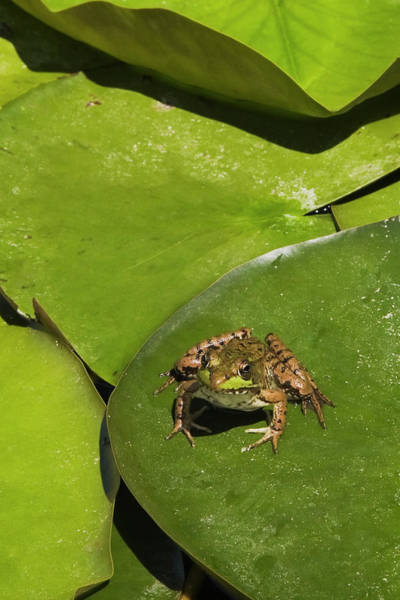 Resting Photograph - Close Up Of A Frog Resting On A Lily by Perry Mastrovito / Design Pics