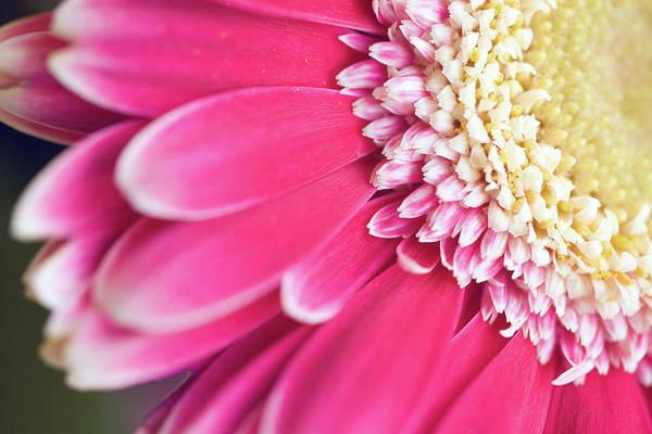 Wall Art - Photograph - Close-up Of A Gerbera Flowerhead by Juergen Bosse